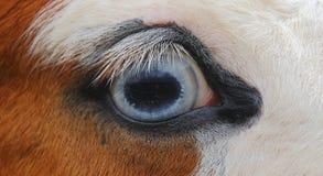 Horse's Blue Eye Stock Image
