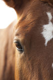 Horse's Eye. Brown horse's eye / close up Royalty Free Stock Images