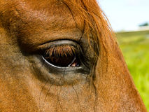 Horse's eye Royalty Free Stock Photo