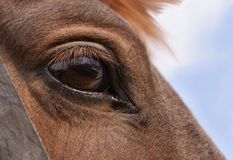 Horse's eye Stock Photography