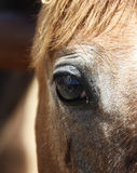 Horse`s eye Stock Photography