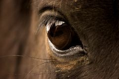 Horse S Eye Stock Photo
