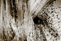Horse's eye. The eye of a horse in black and white Royalty Free Stock Photos