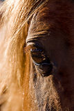 Horse's eye. A closeup of the right eye of a brown horse Stock Photo