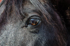 Black Horse Eye. Close up of an eye of a beautiful black Morgan mare royalty free stock photo