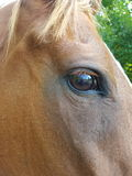 The horse's eye Stock Photography