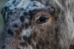 Horse`s Eye Staring. A horses eye staring inquisitively Stock Images