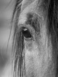 Horse,s eye. Royalty Free Stock Images