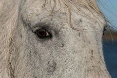 Horse's eye. The eye of a wet horse in the marshes of the Camargue in southern France stock photography
