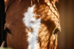 Horse's eyes. Chestnut horse head close up Stock Photography