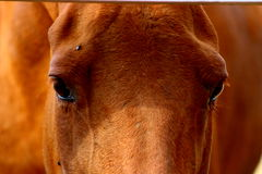 Horse's eyes Royalty Free Stock Image