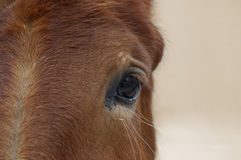 Horse's Head. A close-up view of a horse's head with emphasis on the eye and some negative space on the right stock photos