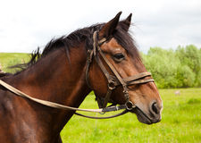 A horse's head. Head brownish horse close up in summer Stock Images