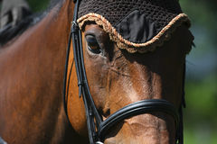 Horse's head close-up. Close-up of a horse beeing ridden, with bridle and ear bonnet stock photography