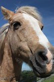 Horse`s head in close up. A close up photo of a horse`s head in a field Stock Photo