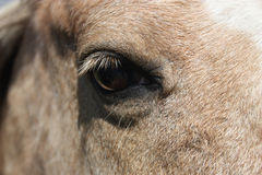 Horse`s head in close up. A close up photo of a horse`s head in a field, showing the eye Royalty Free Stock Photo