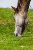 Horse´s Head. Detail of Horse´s Head grazing on green maedow Royalty Free Stock Photo