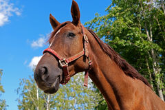 Horse. 's head. A  in the paddock Stock Images