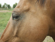 Horse`s head. Part of the head of a brown horse Royalty Free Stock Images
