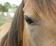 Horse`s head. Part of the head of a brown horse Royalty Free Stock Photography