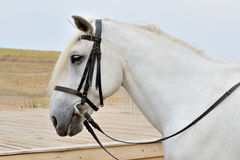 Horse's head. Head of a white horse on a background of sky and beveled field in harness Royalty Free Stock Image