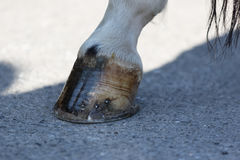 The horse`s hoof. First floor of the shod horse`s hoof Stock Photo