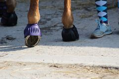 A horse`s hoof with its  iron protected by a rubber bell Stock Image