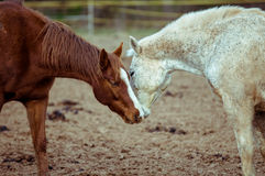 Horse's Kiss. Brow and gray horse kissing Stock Photo