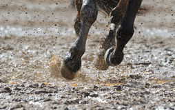 Horse's legs in the water. Horse's legs in the dirty water stock photos