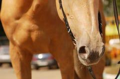 Horse's nose. Closeup of palomino young mare Royalty Free Stock Photos