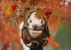 Horse's nose in a mountain ash Royalty Free Stock Images