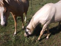 Horse& x27; s och hingstföl som fritt betar royaltyfria bilder