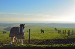 Horse's on pasture land at Devils's Dyke in East Sussex, England. Royalty Free Stock Photo