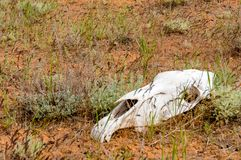 The horse`s skull. On grass in kalmykia steppe stock images