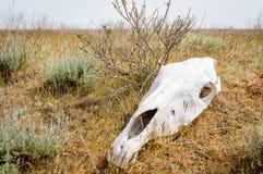 The horse`s skull. On grass in kalmykia steppe stock photos