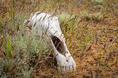 The horse`s skull. On grass in kalmykia steppe stock image
