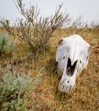 The horse`s skull. On grass in kalmykia steppe stock photography