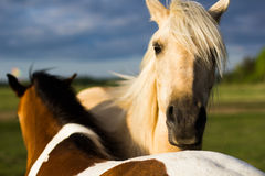 Horse. The horse's walk on the Sunny meadow Royalty Free Stock Images