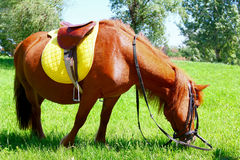 Horse with saddle trimming grass in field royalty free stock image