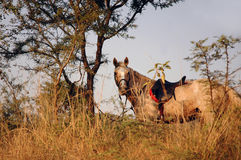 Horse with Saddle Royalty Free Stock Images