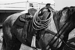 Horse and Saddle Stock Image
