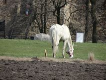 Grazing rural white horse near the medieval castle Royalty Free Stock Photos