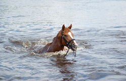 Horse sails in river Stock Photo