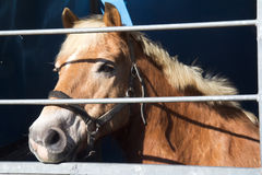 Horse for sale. Is waiting for buyers at the fair in horses of Vic-Fezensac, France (Gascony stock photography