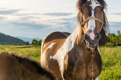 Horse with saliva dripping from its mouth royalty free stock images