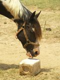 Horse at Salt Lick. A horse sticks its tongue out to taste a salt lick Stock Photo