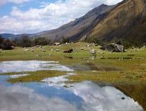 Horse at the santa cruz trekking in cordillera blanca  peru Royalty Free Stock Images