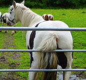 Horse scratching its bottom against a gate royalty free stock images