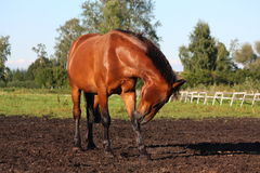 Horse scratching itself Stock Image