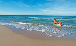 Horse in the sea Stock Image